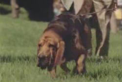 A bloodhound sniffs the ground as an investigator holds its leash