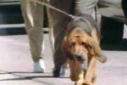 The bloodhound walking in the city sniffing the ground