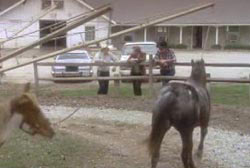 Three men lean against a fence as two pure-bred Appaloosa horses trot around